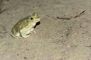 Couch's Spadefoot Toad by Gary Carter