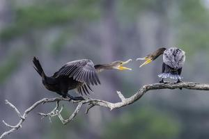 Double-Crested Cormorant by Gary Carter
