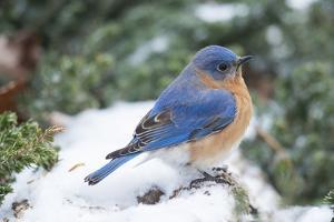 Eastern Bluebird by Gary Carter