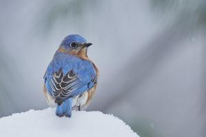 Eastern Bluebird by Gary Carter