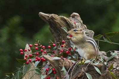 Eastern Chipmunk by Gary Carter