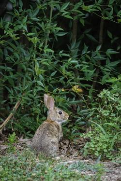 Eastern Cottontail Rabbit by Gary Carter