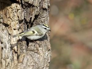 Golden-Crowned Kinglet by Gary Carter