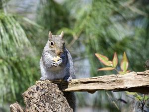 Gray Squirrel, Mcleansville, North Carolina, USA by Gary Carter