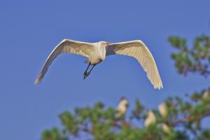 Great Egret in Flight by Gary Carter