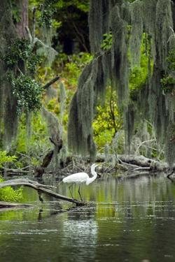 Great Egret by Gary Carter