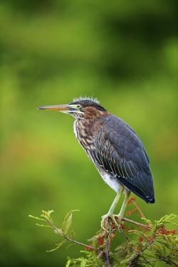 Green Heron by Gary Carter