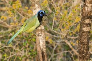 Green Jay by Gary Carter