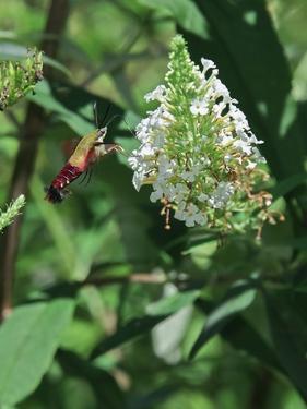 Hummingbird Moth by Gary Carter