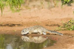 Mexican Ground Squirrel by Gary Carter
