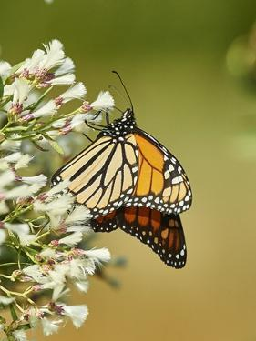 Monarch Butterfly by Gary Carter