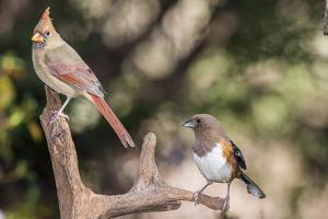 Northern Cardinal & Rufous Towhee (Female) by Gary Carter
