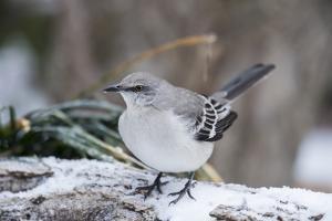 Northern Mockingbird by Gary Carter
