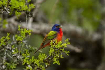 Painted Bunting Perching on Twig by Gary Carter