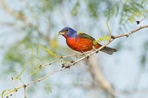 Painted Bunting by Gary Carter