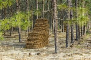 Pine Needle Harvest by Gary Carter