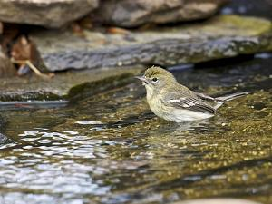 Pine Warbler (1St Year) by Gary Carter