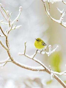 Pine Warbler Perching on Branch in Winter, Mcleansville, North Carolina, USA by Gary Carter