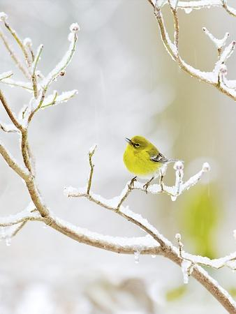 Pine Warbler Perching on Branch in Winter, Mcleansville, North Carolina, USA
