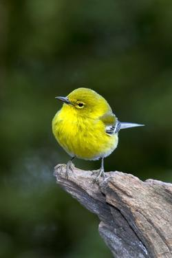 Pine Warbler by Gary Carter