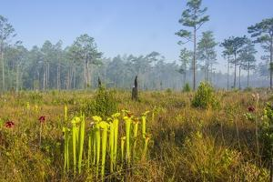 Pitcher Plant Bog and Pine Forest by Gary Carter