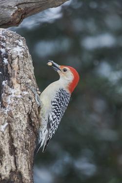 Red-Bellied Woodpecker by Gary Carter