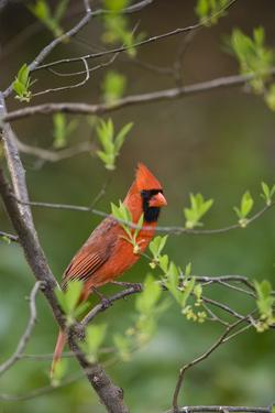 Red Northern Cardinal in Tree by Gary Carter