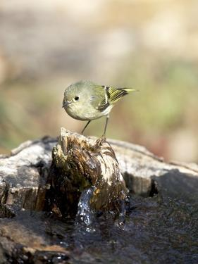 Ruby-Crowned Kinglet by Gary Carter