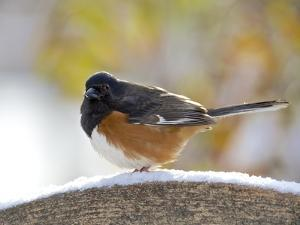 Rufous Towhee in Winter, Mcleansville, North Carolina, USA by Gary Carter
