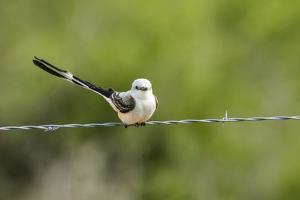 Scissor-Tailed Flycatcher by Gary Carter