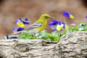Side View of Pine Warbler, Mcleansville, North Carolina, USA by Gary Carter
