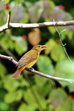 Summer Tanager Feeding on Dogwood Berry by Gary Carter
