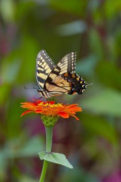 Swallowtail Butterfly by Gary Carter