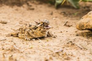 Texas Horned Lizard by Gary Carter