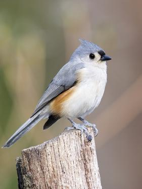 Tufted-Titmouse by Gary Carter