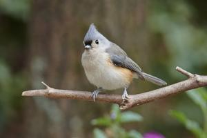 Tufted Titmouse by Gary Carter