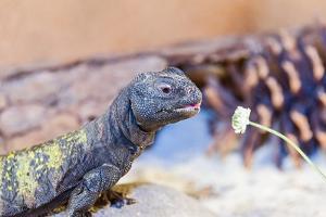 Uromastyx Lizard by Gary Carter