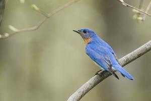 View of Eastern Bluebird Perching on Branch by Gary Carter