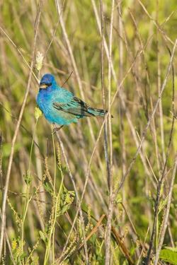 View of Indigo Bunting Perching on Twig by Gary Carter