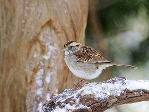 White-Throated Sparrow, Mcleansville, North Carolina, USA by Gary Carter