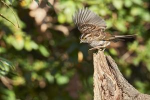 White-Throated Sparrow by Gary Carter