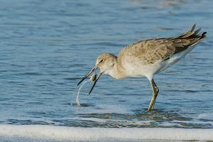 Willet by Gary Carter