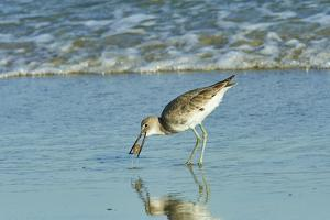 Willet; by Gary Carter