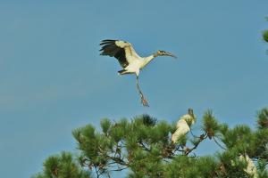 Wood Stork Landing on Tree Branch by Gary Carter