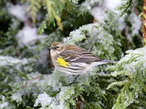 Yellow-Rumped Warbler in Winter, Mcleansville, North Carolina, USA by Gary Carter