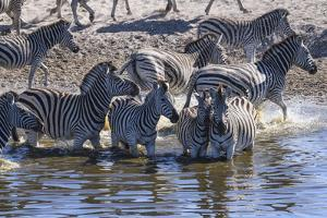 Burchell's zebra (Equus quagga burchellii) drinking in the Boteti River, Botswana by Gary Cook