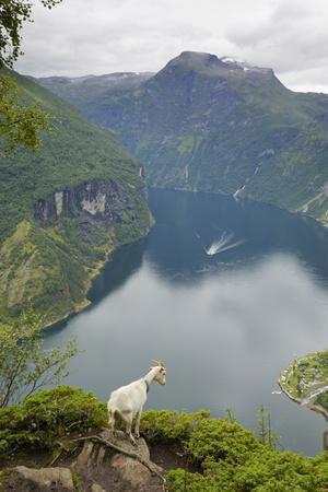 Goats Overlooking Geirangerfjorden, Near Geiranger, UNESCO Site, More Og Romsdal, Norway