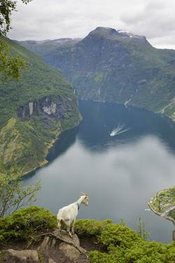 Goats Overlooking Geirangerfjorden, Near Geiranger, UNESCO Site, More Og Romsdal, Norway by Gary Cook
