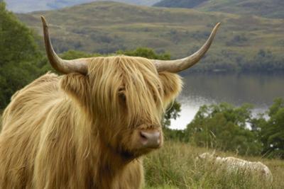 Highland Cattle Above Loch Katrine, Loch Lomond and Trossachs National Park, Stirling, Scotland, UK by Gary Cook
