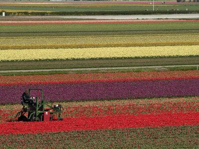 Working in the Tulip Rows in the Bulb Fields, Near Lisse, Holland (The Netherlands)